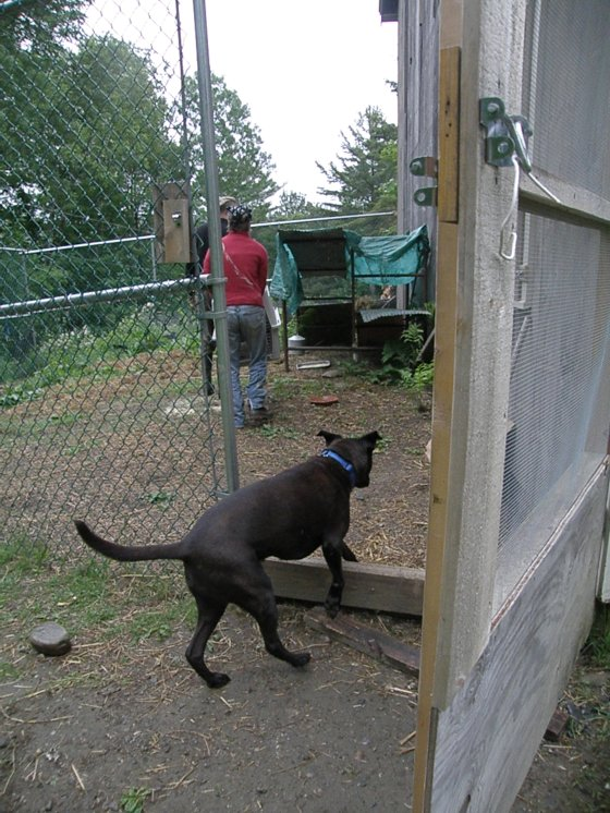 Arriving at the yard behind the big-chicken coop. Figaro is on hand to help.