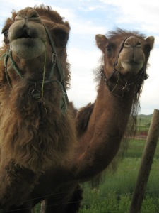 Camels are huge, seriously huge. I mean, we knew that, and we were still blow away by their hugeness.