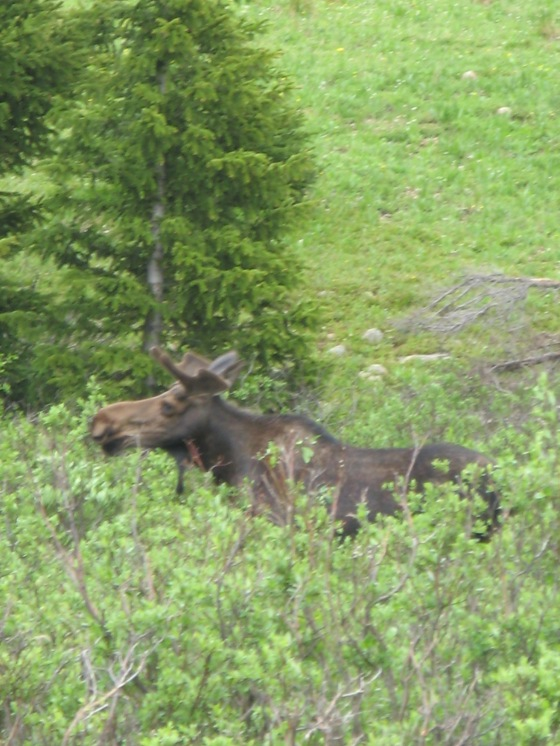 Moose! I spotted him in Pouder Canyon. We snapped a few pictures while he nonchalantly munched on willows.