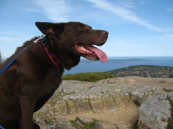 It was a long hike to the top of Cadilac Mountain (and an even longer one down). Fischer had a great time sniffing passing hikers, getting pet by little kids, and enjoying a break in the wind at the summit (super dog ears!).