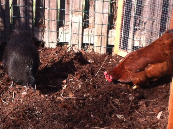 Ofeibea is the Black Australorp on the left. The Rhode Island Red on the right needs a name.